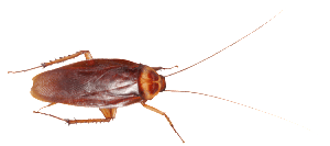 water bug or cockroach on white background