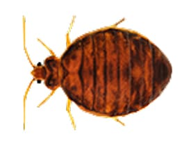 Bed Bug Control NYC