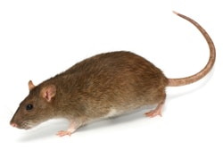 Rodent Removal NYC, A Rodent Infestation Can Be Hazardous to Your Health