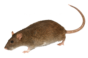 Rodent Control NYC, Rodent Removal NYC, Known Types of Rat Infestation, Control Exterminating Pest Control, Control Exterminating Pest Control Manhattan, Control Exterminating Pest Control NYC, Control Exterminating Pest Control New York City, Pest control services, NYC, Queens, Manhattan, New York City, New York, Pest Control, Exterminator, rat, rodent, mouse, rodents