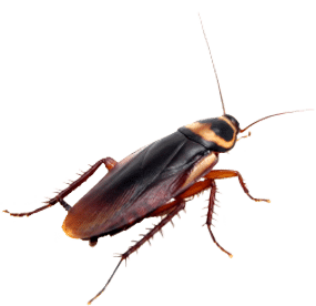 a cockroach on white background