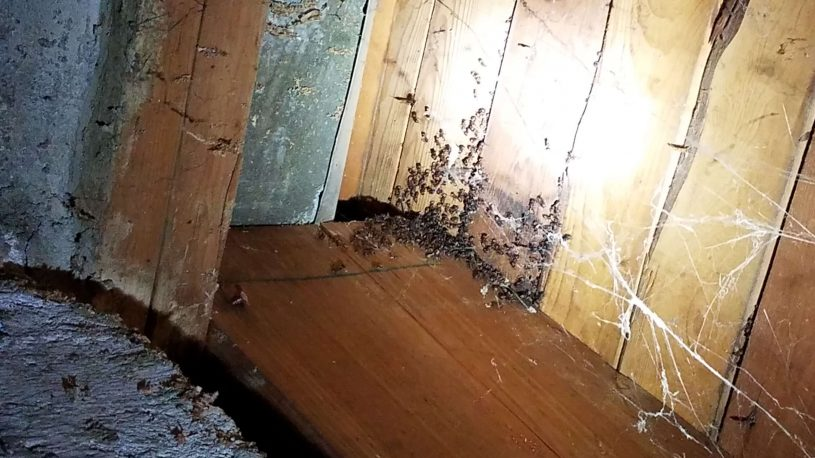 carpenter ants swarming on wooden ceiling