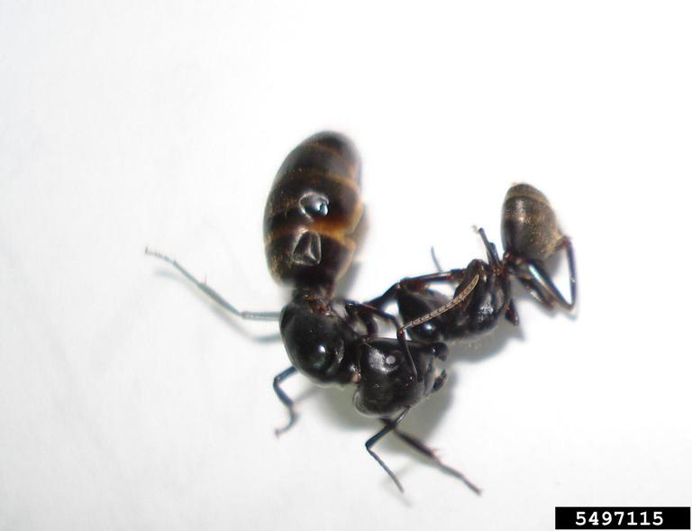 two black ants on white background
