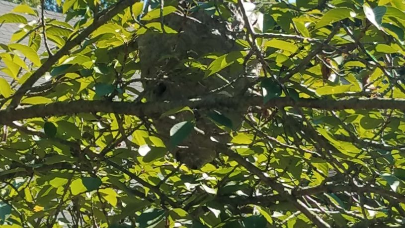 hornet nest on a tree