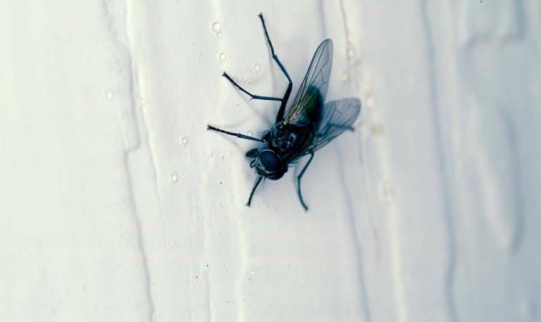 House Fly Control NYC: Getting Rid of House Flies