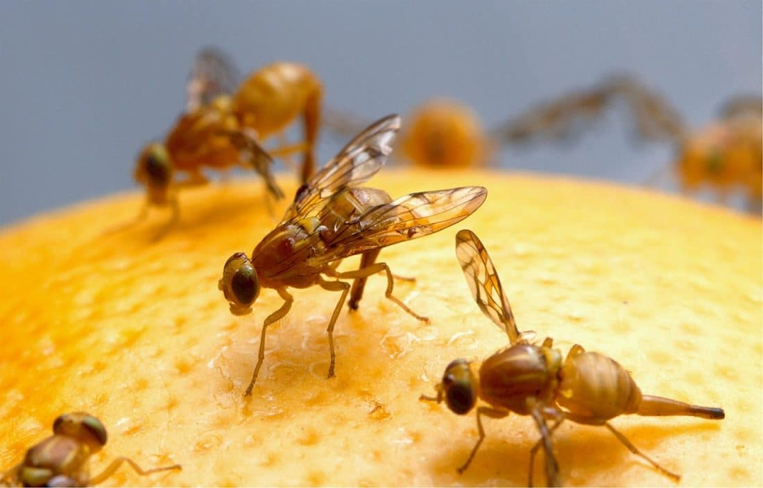 flies on a fruit