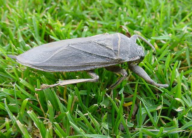 Water Bug vs. Cockroach: Know the Difference