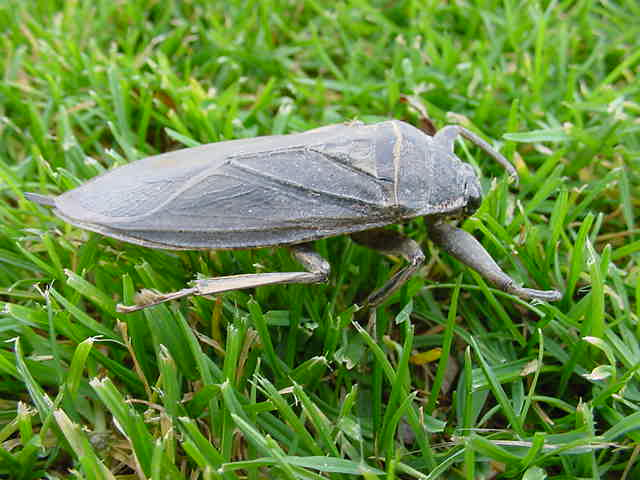 a giant water bug walking on the grass