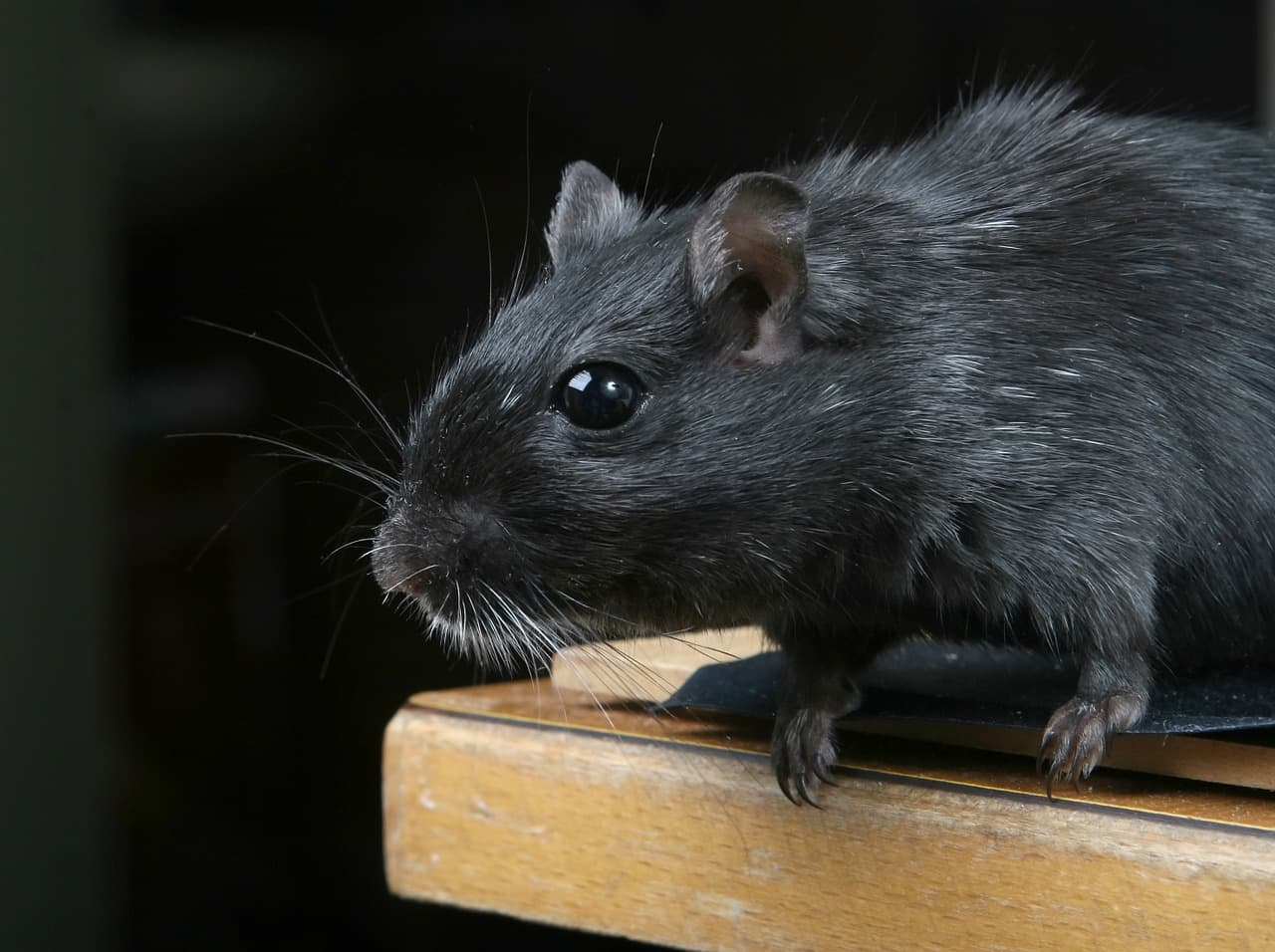 a black rat on the edge of a table