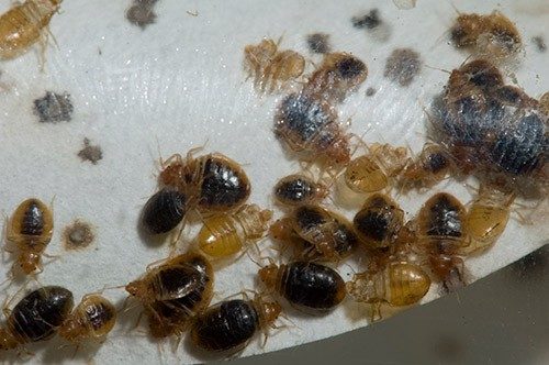 adult bed bugs scurrying on white material