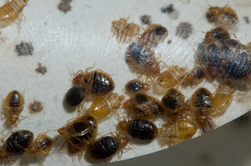 bed bug infestation