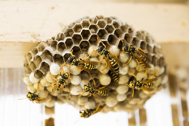 paper wasps in their hive
