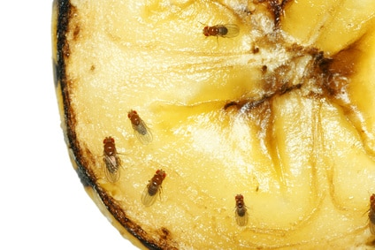 fruit flies inside fruit