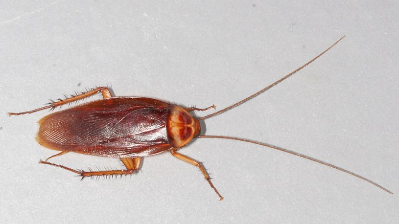 an american cockroach scurrying on the floor