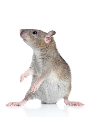 Rodents in New York City: Identification, Diseases, and Prevention