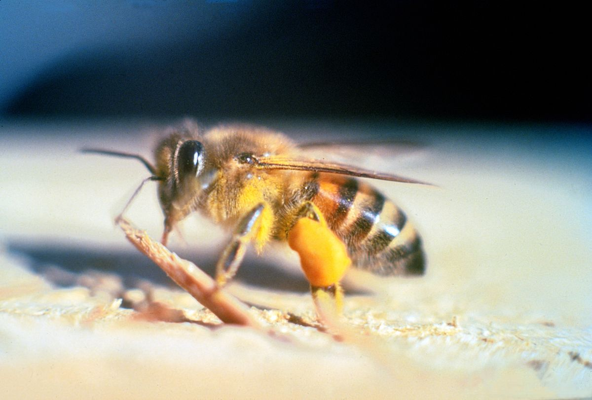 africanized killer bee on the ground
