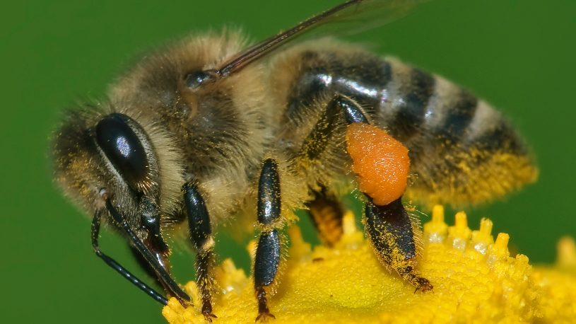 a honeybee is pollinating