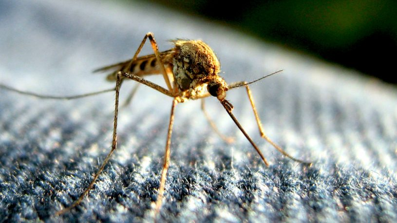 mosquito control, mosquito facts, why do mosquitoes need blood, mosquitoes need blood, mosquito blood type, mosquito, mnosquitos, mosquitoes, blood, blood sucker, mosquito diet