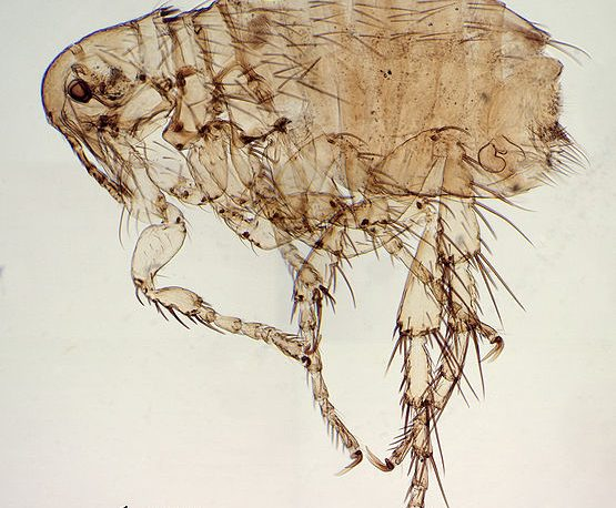 illustration of a flea