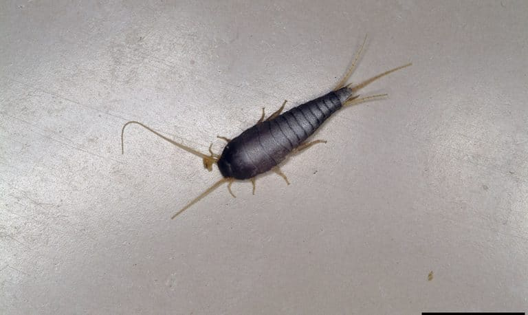silverfish on the floor
