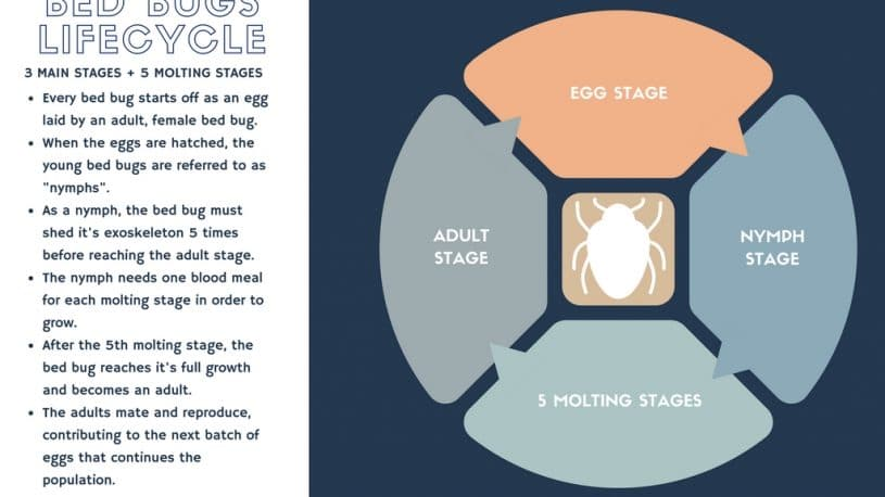 Infographic of Bed Bug Life Cycle, Lifespan of a Bed Bug