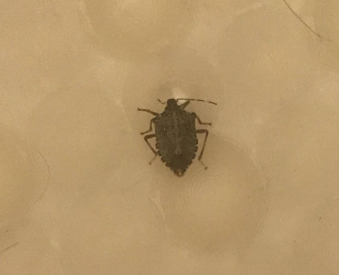 Picture of A Stink Bug in Bath Tub