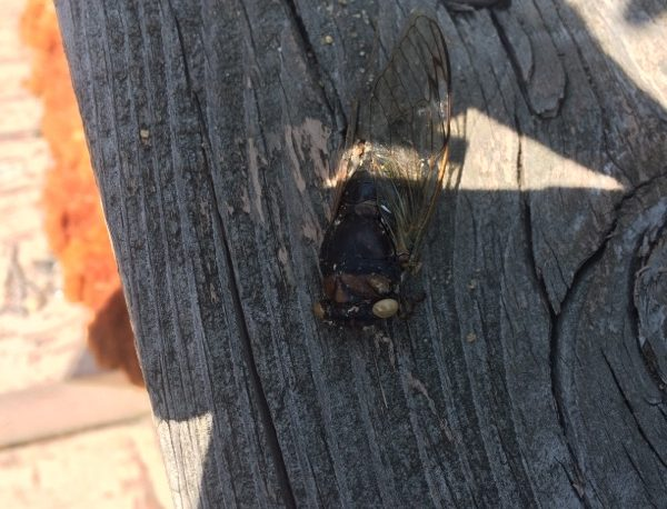 Cicada killer wasp is preying on a cicada