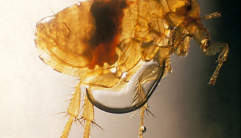illustration of a flea under microscope