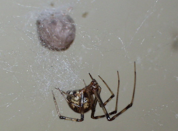 american house spider is hanging on its web