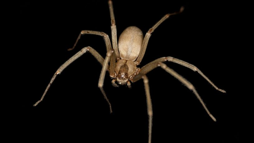 a brown recluse spider is crawling