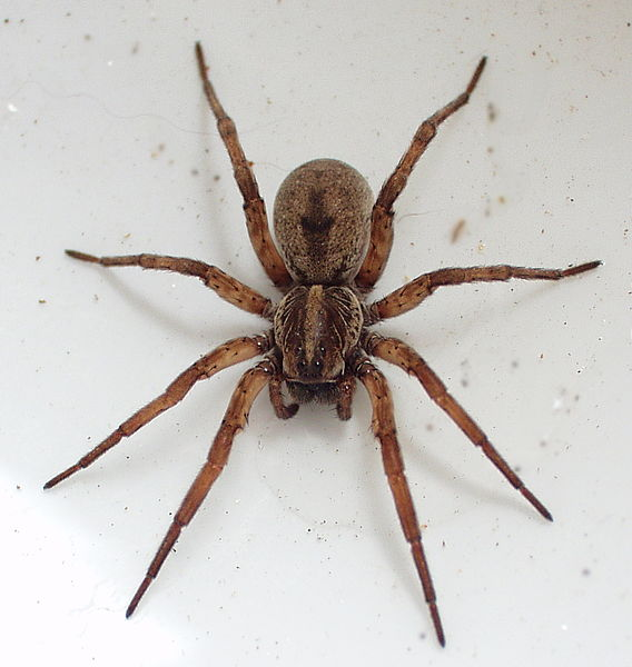 a wolf spider on the white backdrop