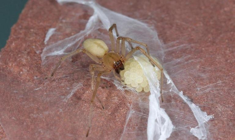 Yellow Sac Spider and its eggs
