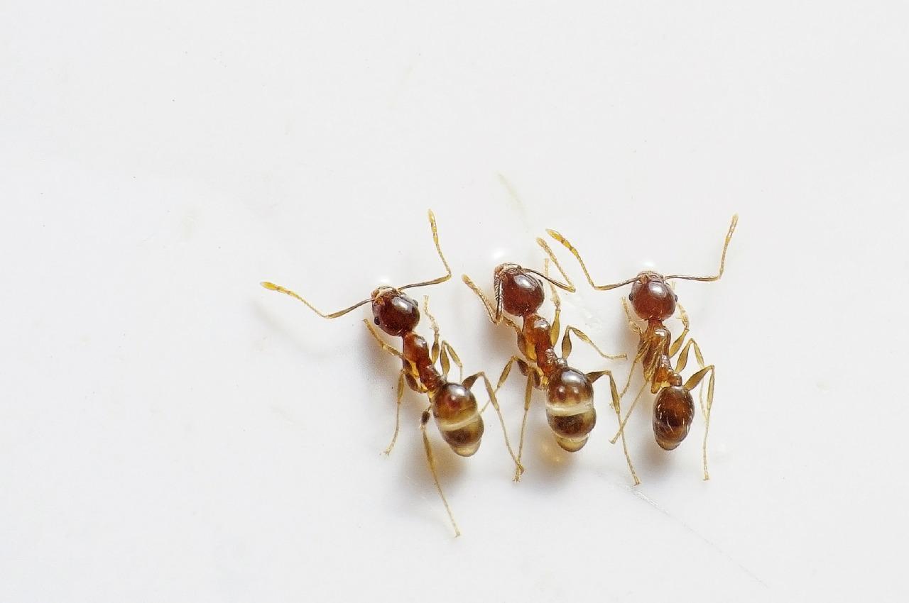 Ant Killer Baking Soda: Easy Steps Make a Potent Natural Ant Killer