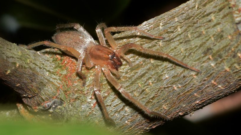 Yellow Sac Spider on a bark of tree