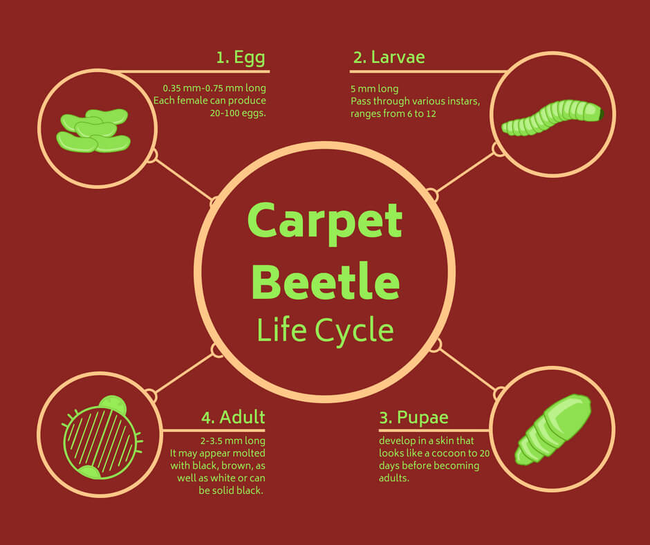Life Cycle of Carpet Beetles: Phases from Eggs to Adults infographic