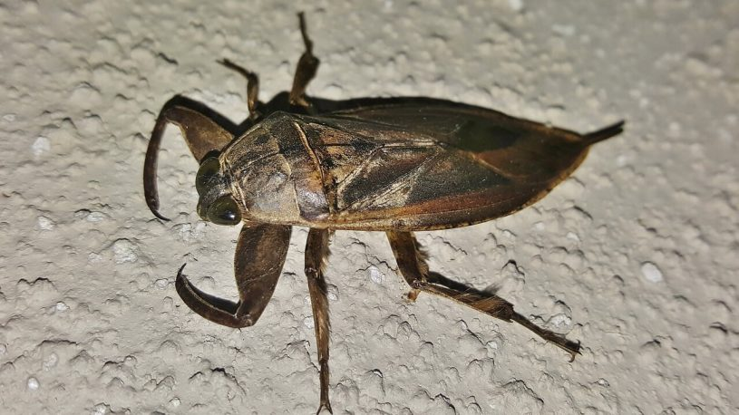 giant water bug on sand