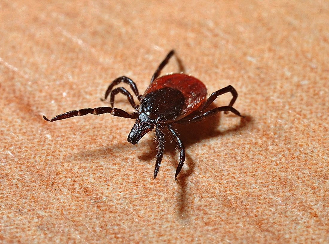 a black-legged tick on the carpet