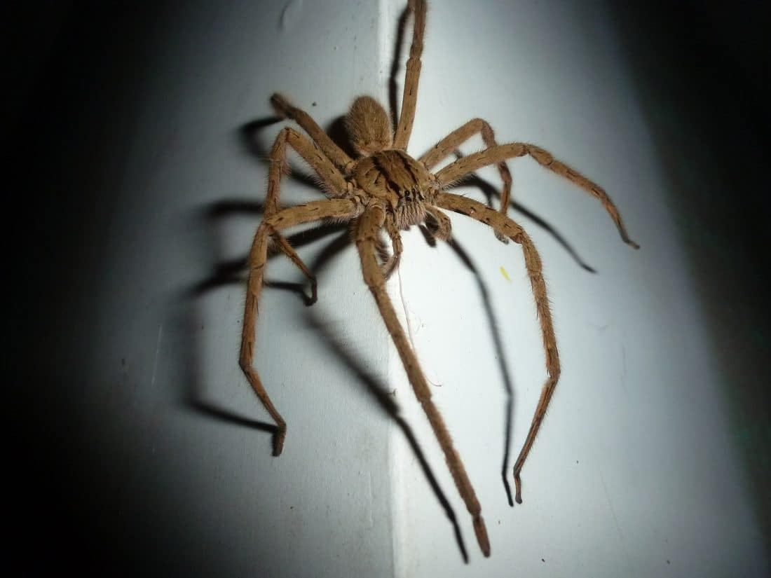 a wolf spider on the wall