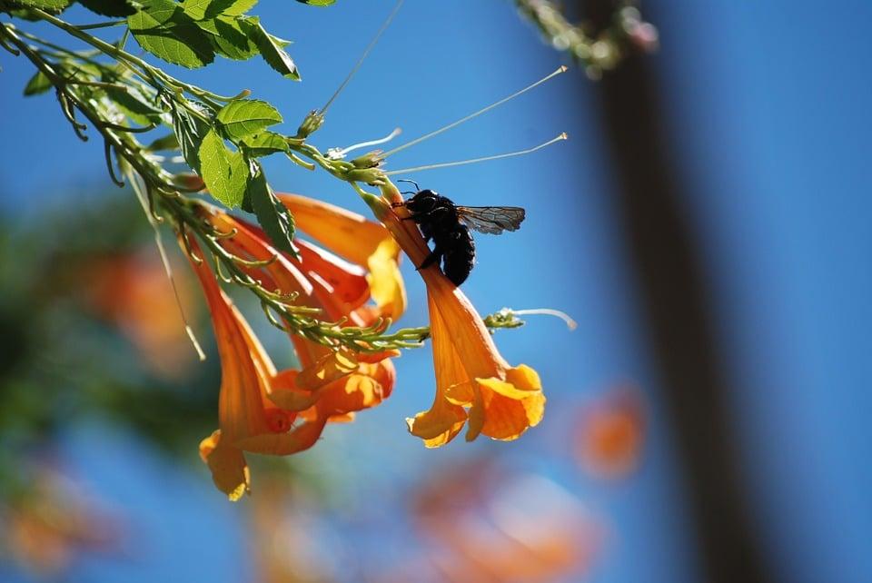 a carpenter bee on a flower