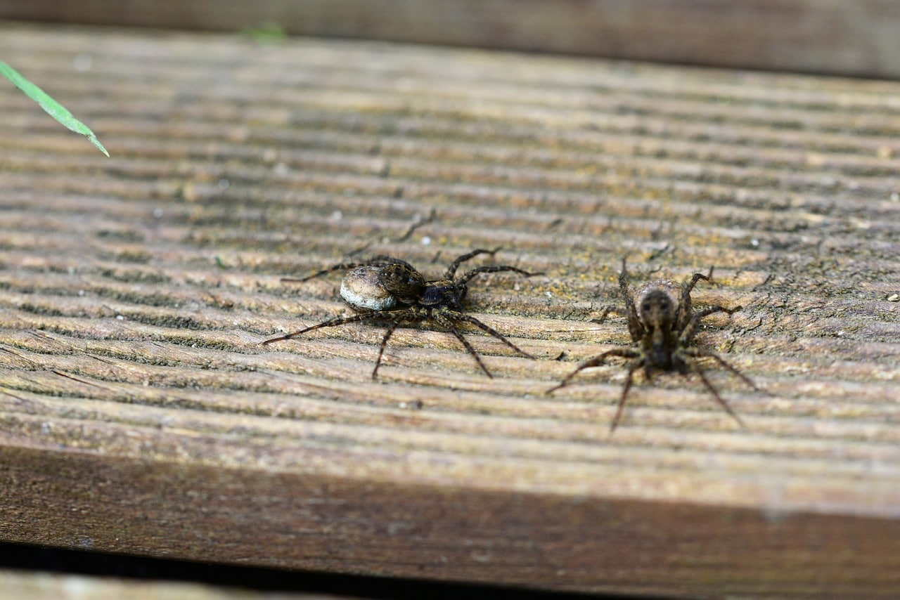Two wolf spiders on a wood