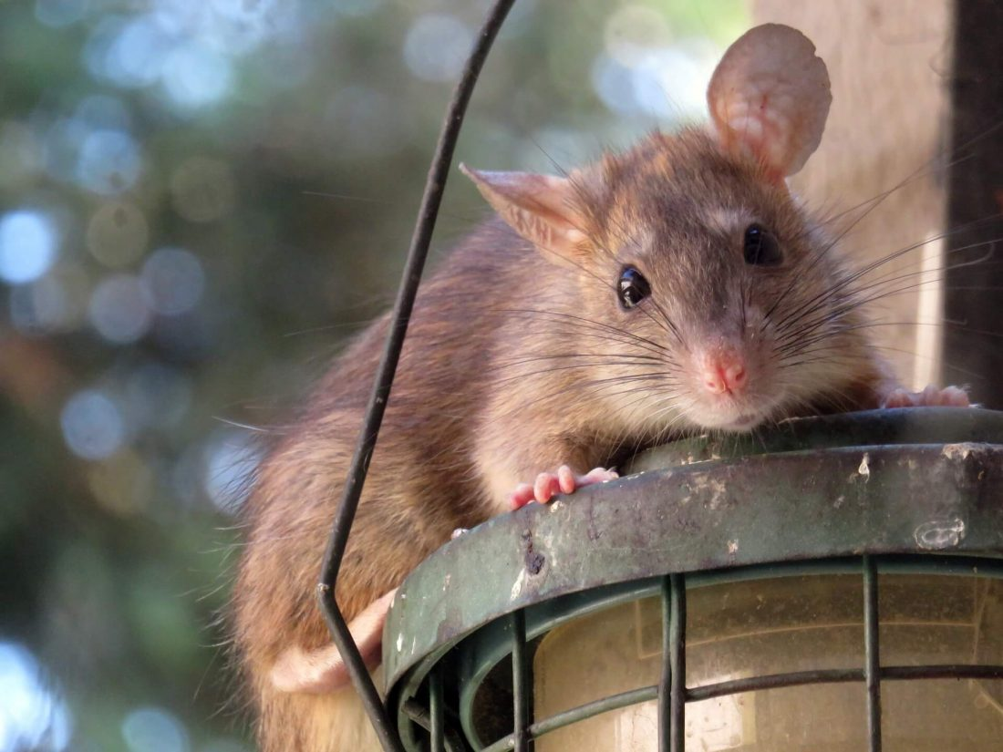 Treat a Rat Infestation with ContraPest