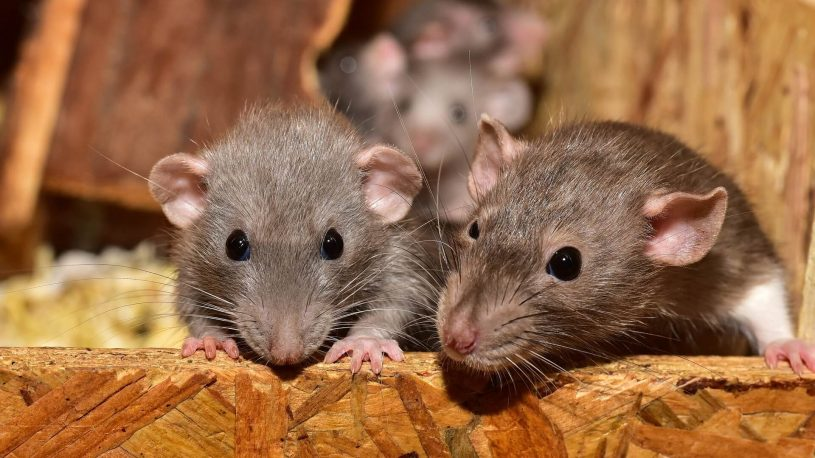 baby rats in wooden box