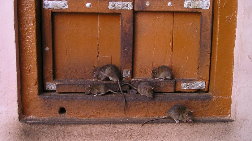 rats on the closed window