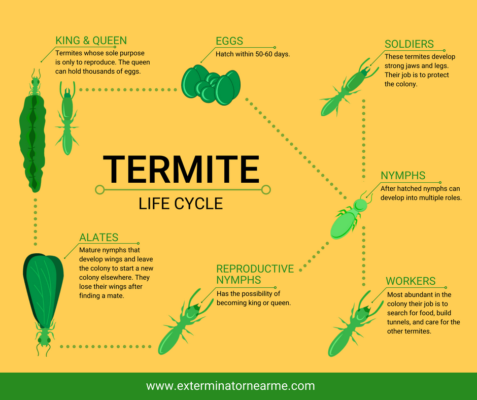 Life Cycle of Termites infographic
