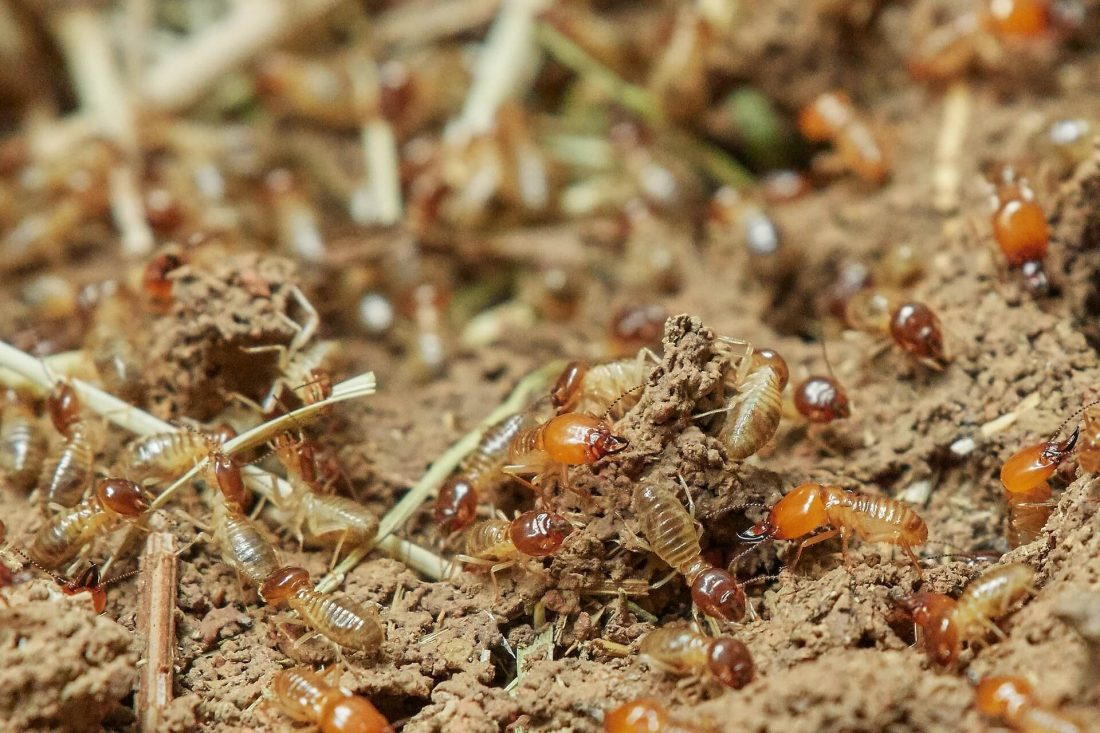 termites in the mound
