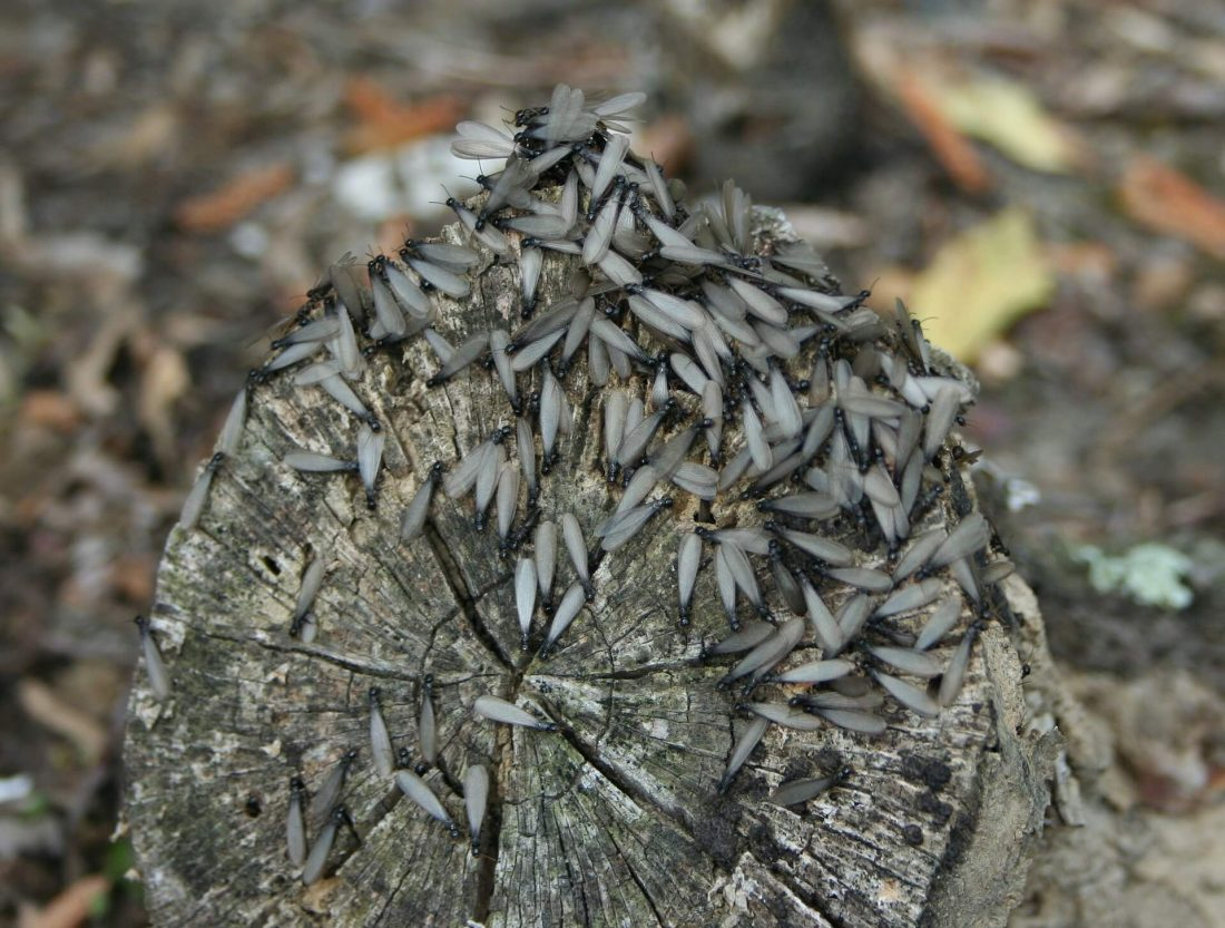 winged termites on a tree trunk