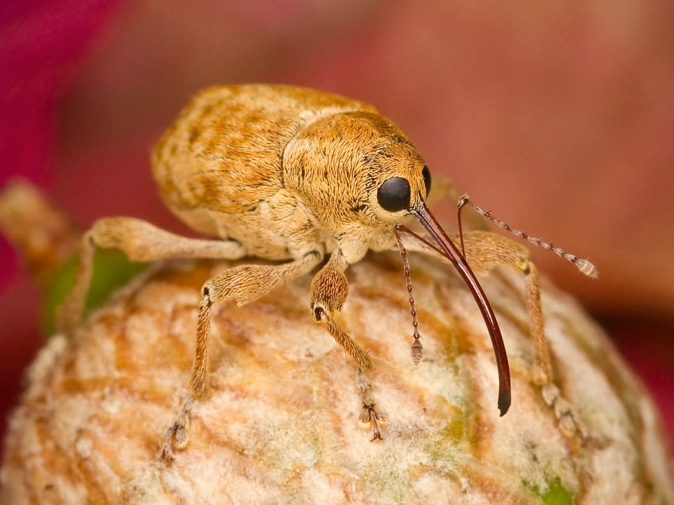 close up weevil