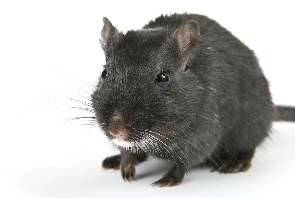 big rat in nyc